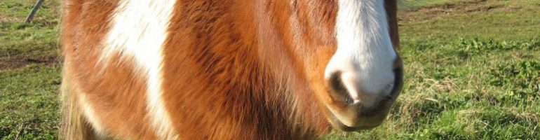Шетлендский пони