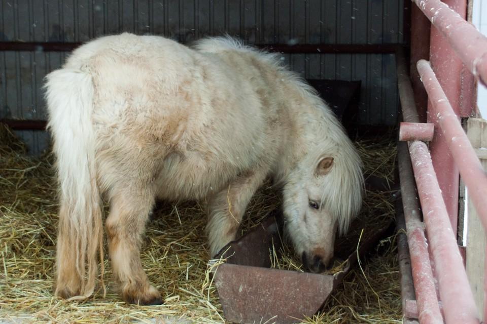 Шетлендский пони, фото