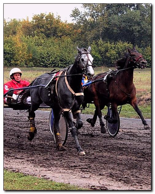 Шлезвингская порода лошадей (Schleswiger) на скаку, фото
