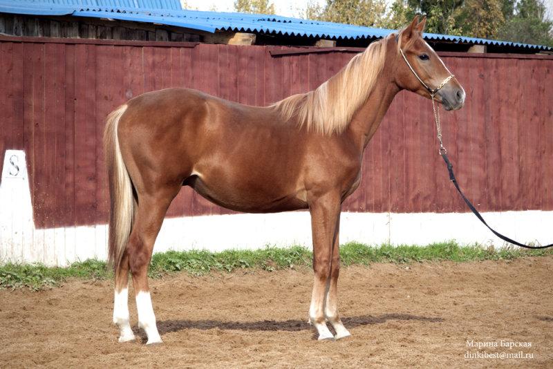 Шлезвингская лошадь, фото