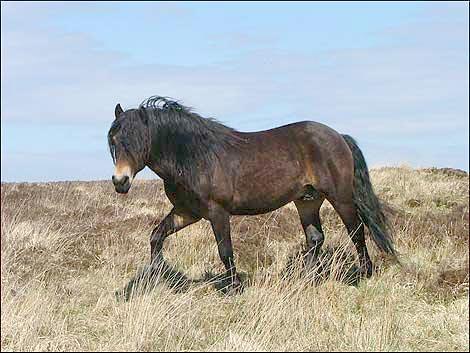 Эксмурский пони на прогулке, фото