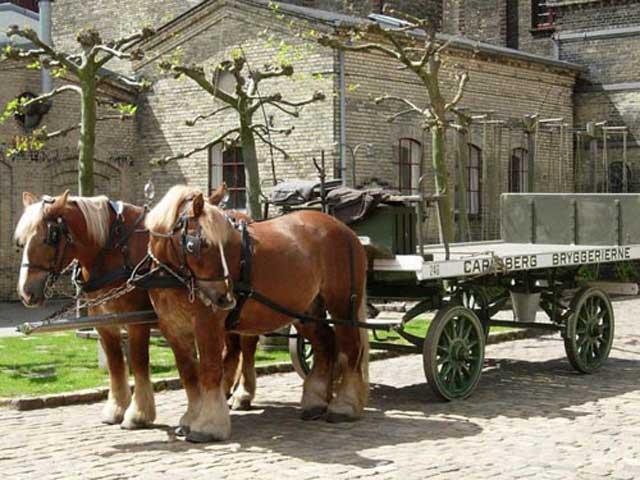Ютландская лошадь (датский тяжеловоз) в упряжке, фото