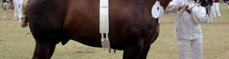 Ютландская лошадь (датский тяжеловоз)