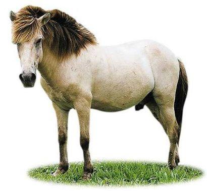 Ява Пони, фото