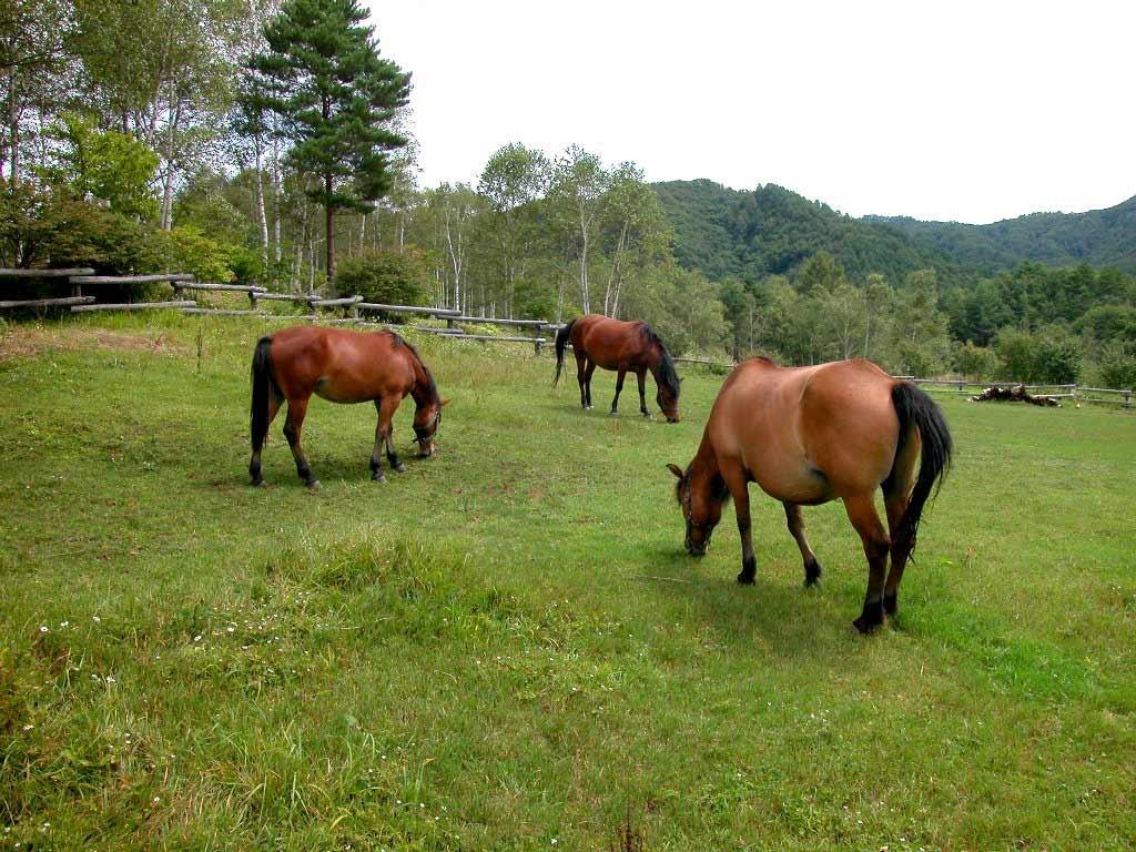 Японские аборигенные лошади на выпасе, фото