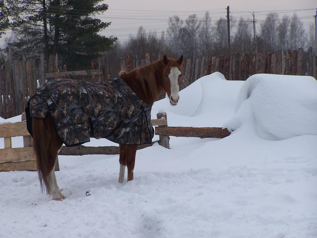 В стойле с накинутой попоной лошадь спокойно венется в свой температурный баланс