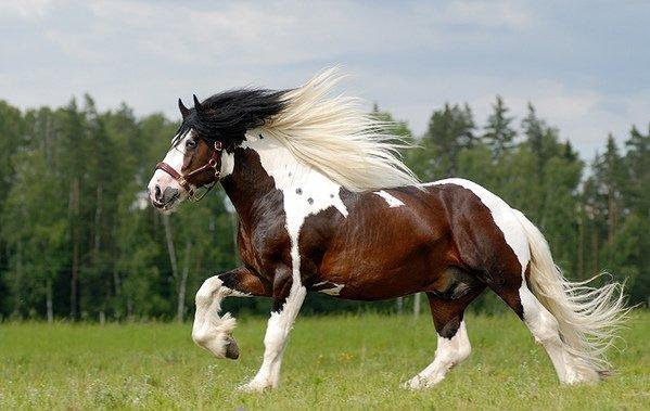 фото лошадь тинкер