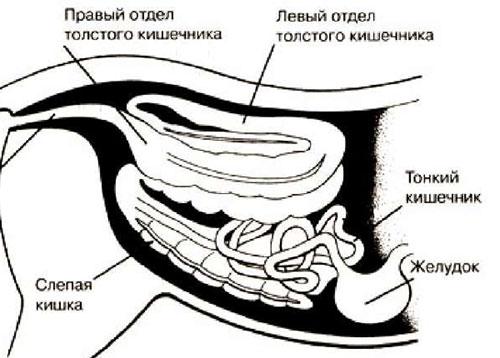 Движение пищи в кишечник