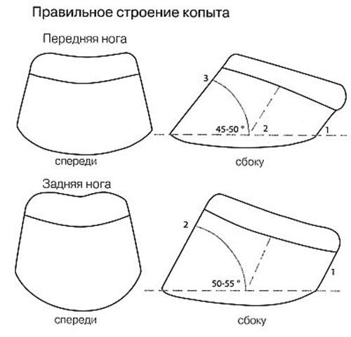 Форма копыт