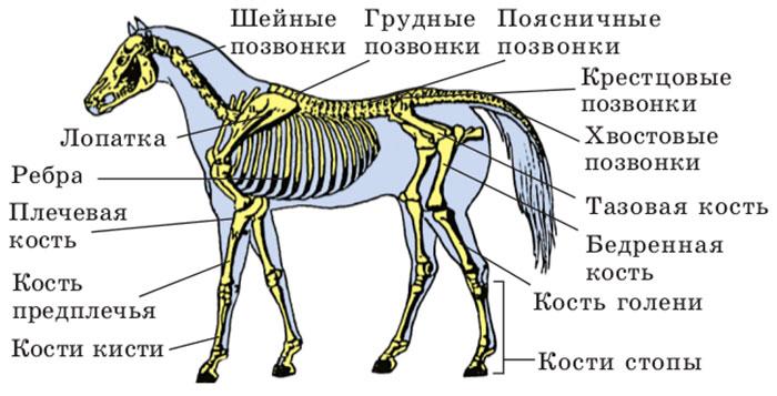 Строение кости с точки зрения биохимика