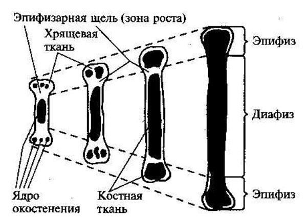 Классификация костей по происхождению