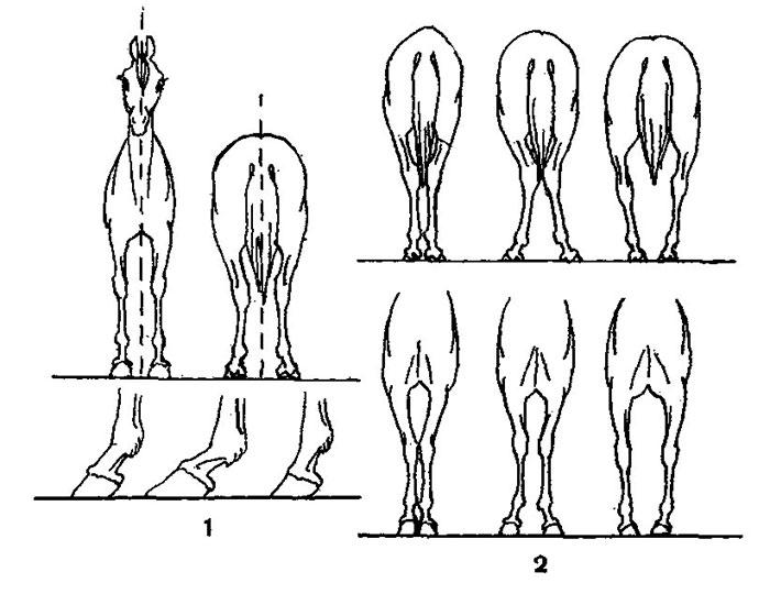 Задние конечности