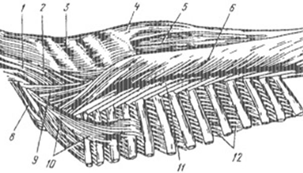 Мускулы позвоночного столба
