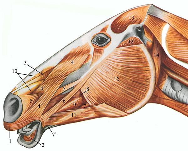 Мускулы головы
