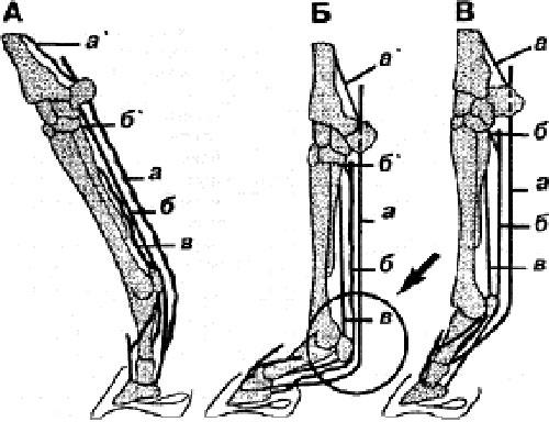 Строение задней конечности и ее типичные травмы