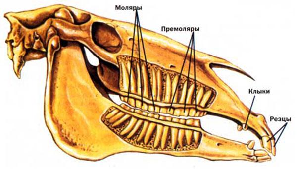 Виды зубов лошади
