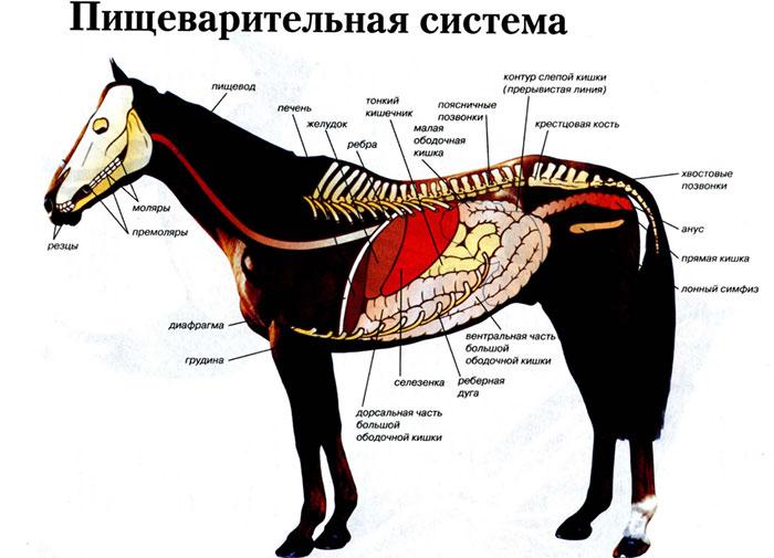 Строение и особенности желудка лошади