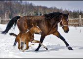 Эмбриональное развитие плода лошади