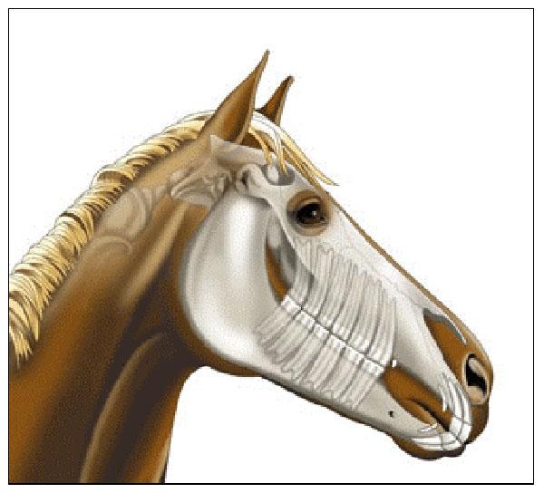 Строение ротовой полости лошади