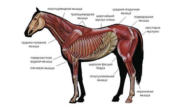 Мышечная и костная системы
