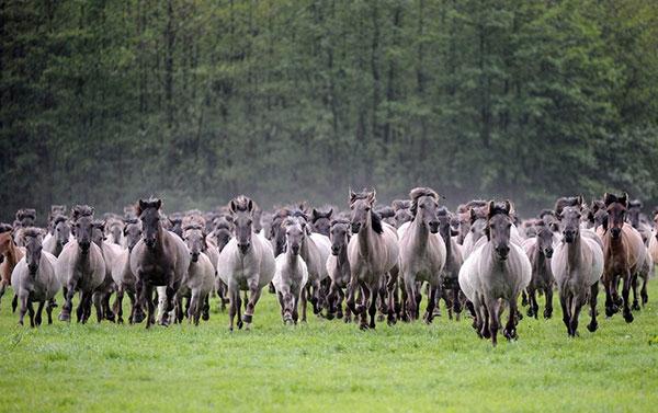 Лошадь – животное стадное