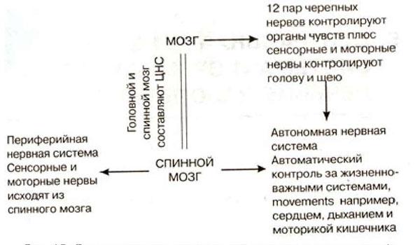 Центральная нервная система лошади