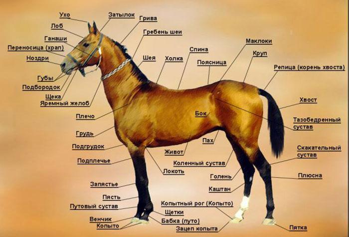 Передняя конечность лошади