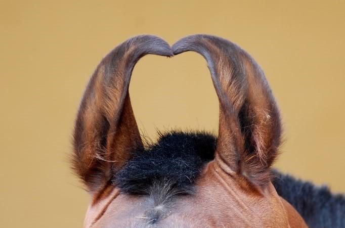 Почему у лошадей острый слух?