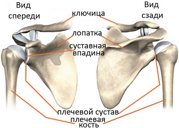 Лопатка и плечевая кость