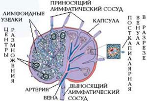 Виды лимфоузлов