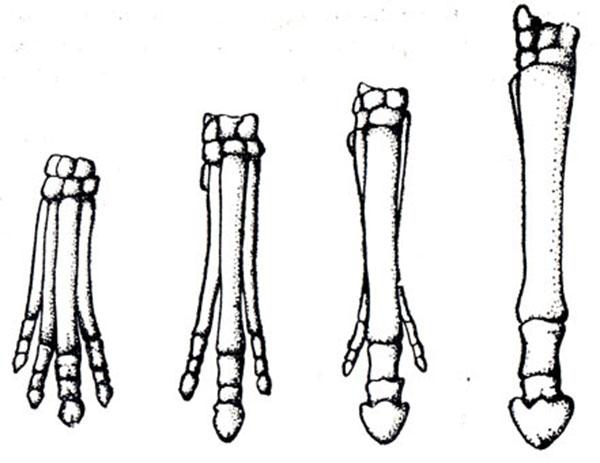 Филогенез скелета