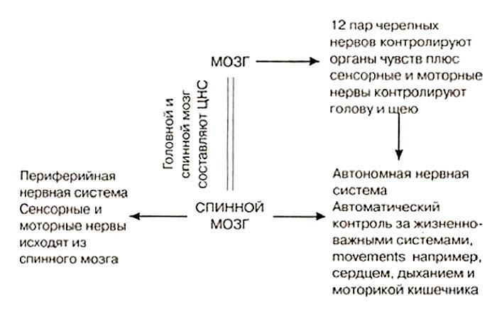 Периферическая нервная система лошади