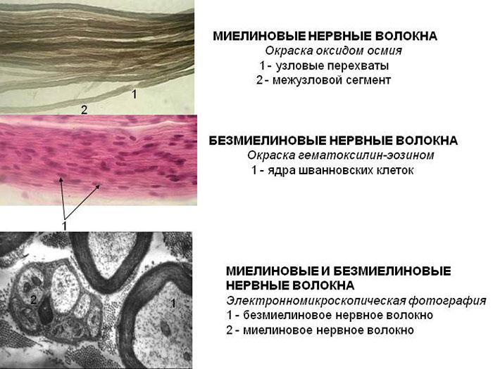 Основные взаимосвязи строения периферической нервной системы