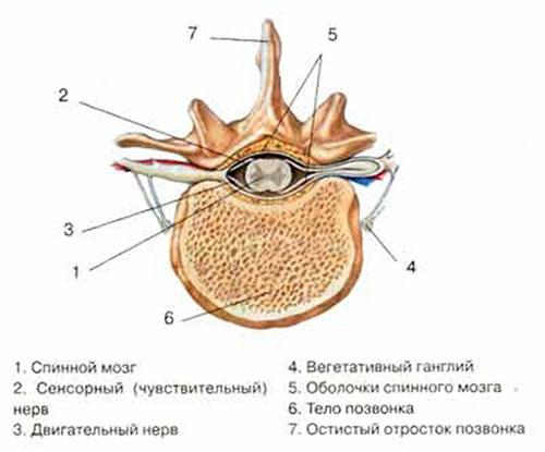 Закономерность направленности и разветвления нервов