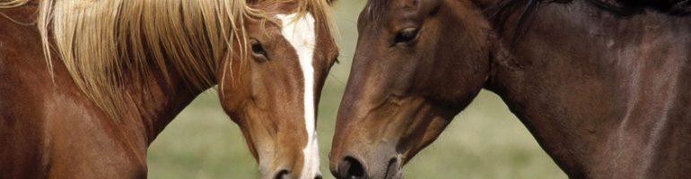 Ухо лошади