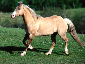лошадь с эмфиземой легких