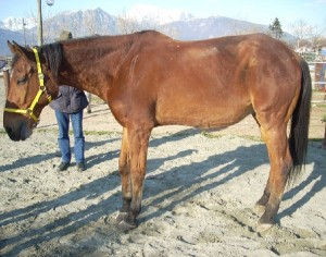 лошадь страдающая ламинитом