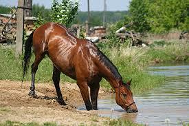 лошадь утоляет жажду
