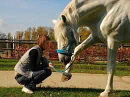 лошадь показывает копыто