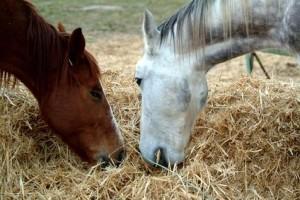 две лошади едят сено