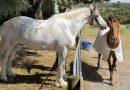 Знакомство с самой толстой лошадью