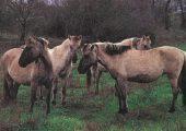 Как выглядит самая редкая лошадь на Земле?