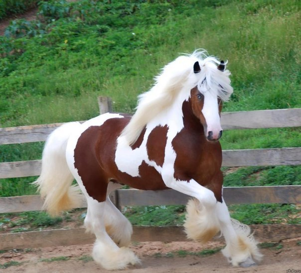 Презентация «Немецкие породы лошадей»