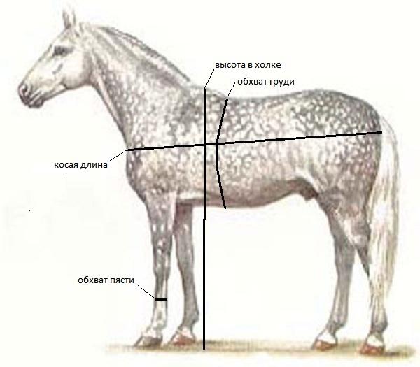Как измеряется длина лошади