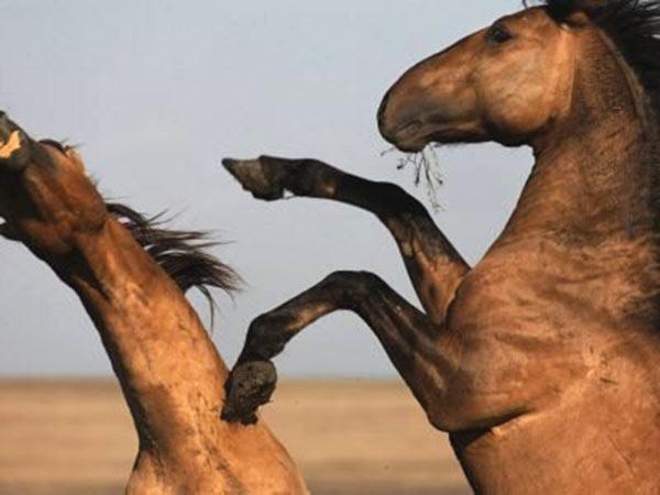 Особенности работы с дикими лошадьми