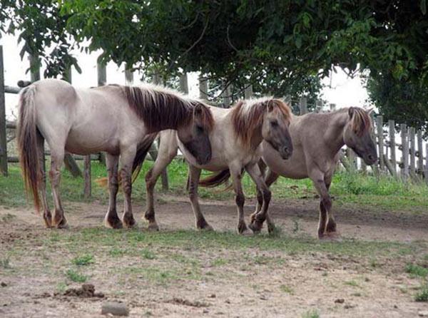 Как понять и обучить диких лошадей