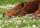 Для чего надо учить лошадь ложиться, поэтапные уроки