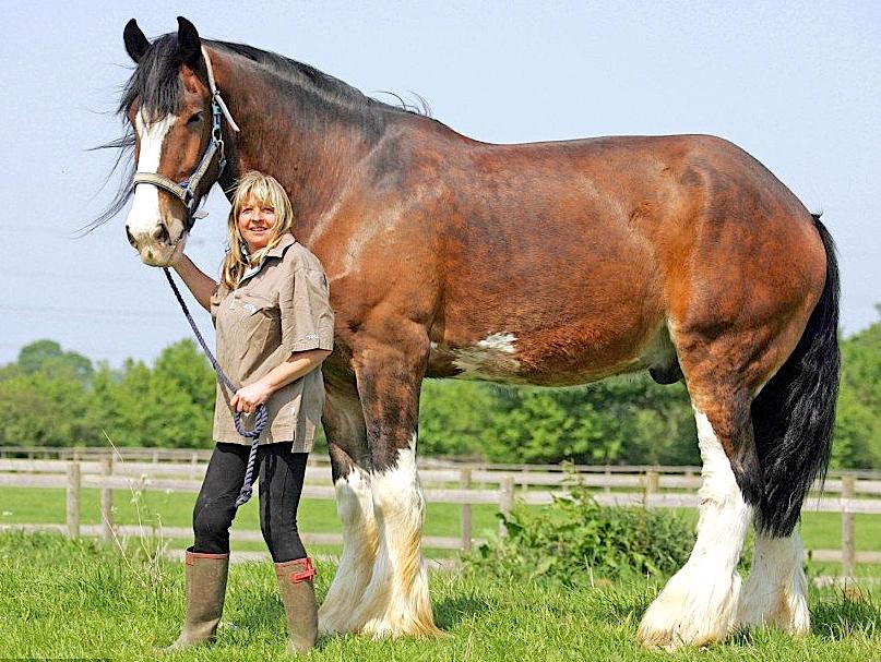 Самая большая лошадь в мире – описание породы, особенности выведения