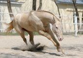 Масти ахалтекинских лошадей