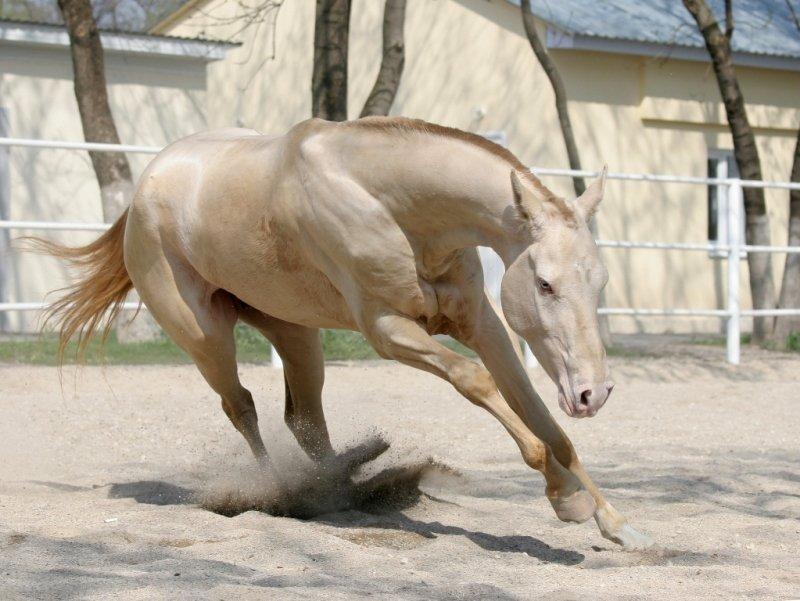 Ахалтекинская лошадь изабелловой масти: описание и характеристика породы